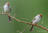 Chipping sparrows pb.jpg