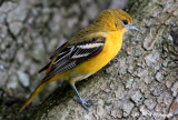 Female Baltimore Oriole pb.jpg