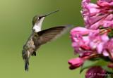 Hummingbird 2 pb.jpg