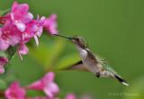 Hummingbird 5 pb.jpg