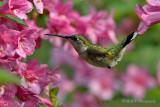 Hummingbird 4 pb.jpg