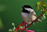 Black- capped Chickadee pb.jpg