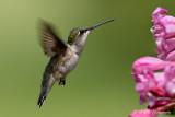 Hummingbird7 pb.jpg