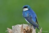 Tree Swallow 2 pb.jpg