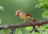 Female Northern Cardinal pb.jpg