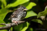 Chipping Sparrow fledgling pb.jpg