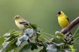 Goldfinch pair pb.jpg