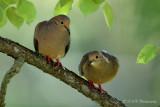 Mourning Doves pb.jpg