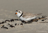 Piping Plover on nest pb.jpg