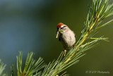 Chipping Sparrow pb.jpg