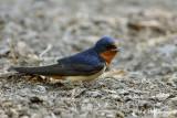 Barn Swallow pb.jpg