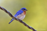 Eastern Bluebird 07 pb.jpg