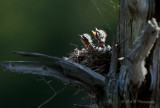 Eastern Kingbird babies pb.jpg