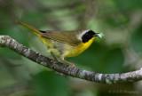 Common Yellowthroat pb.jpg