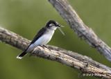 Eastern Kingbird pb.jpg