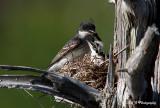 Eastern Kingbird 2 pb.jpg