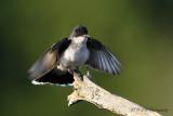 Kingbird pb.jpg