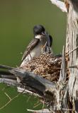 Kingbird and young pb.jpg