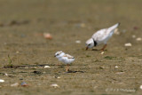 Piping Plover chick pb.jpg