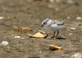 Piping Plover Chick2 pb.jpg