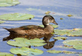 Wood Duck in Eclipse