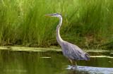 Great Blue Heron 2 pb.jpg