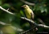 Female Scarlet Tanager pb.jpg