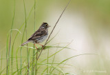 Savannah Sparrow pb.jpg