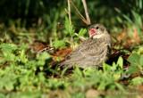 Chipping Sparrow feeding a Cowbird fledgling pb.jpg