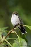 Female Ruby Throated Hummingbird 2 pb.jpg