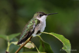 Female Ruby Throated Hummingbird pb.jpg