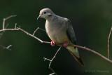Mourning Dove pb.jpg