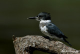 Belted Kingfisher pb.jpg