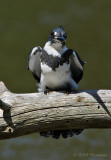 Belted Kingfisher 2 pb.jpg