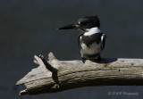Belted Kingfisher 5 pb.jpg