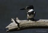 Belted Kingfisher 5 pb.jpg