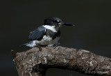 Belted Kingfisher 3 pb.jpg
