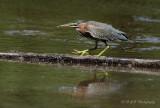 Green Heron 2 pb.jpg