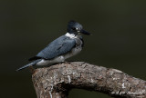 Belted Kingfisher 4 pb.jpg