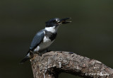 Belted Kingfisher 6 pb.jpg