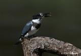 Belted Kingfisher 6 pb.jpg