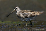 Short-Billed Dowitcher 2 pb.jpg