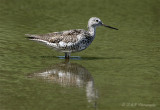 Greater Yellowlegs 2 pb.jpg
