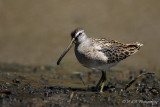 Short-Billed Dowitcher 3 pb.jpg