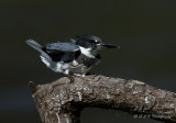 Belted Kingfisher 7 pb.jpg