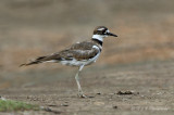 Killdeer pb.jpg