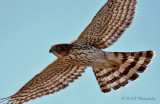 Immature Coopers Hawk pb.jpg