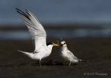 Least Tern feeding juvenile pb.jpg