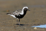 Black Bellied Plover pb.jpg