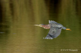 Green Heron in flight pb.jpg